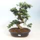 Kryty bonsai - Syzygium - Pimentovník PB2191557 - 1/3