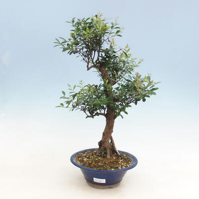 Kryty bonsai - Syzygium - Pimentovník - 1