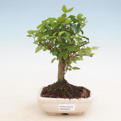 Indoor bonsai -Ligustrum chinensis - dziób ptaka - 1