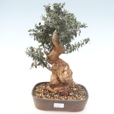 Kryty bonsai - Olea europaea sylvestris -Oliva Europejski mały liść PB2192025