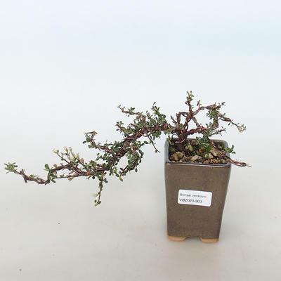 Outdoor bonsai-irga pozioma-Rockrose - 1