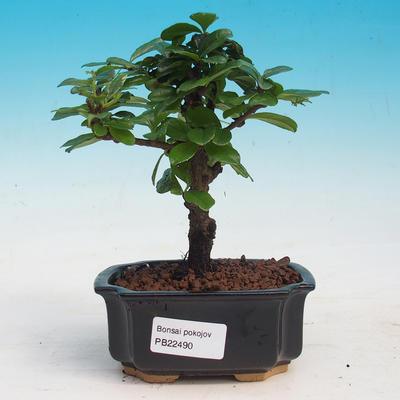 bonsai Room - Carmona macrophylla - Tea Fuki - 1