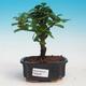 bonsai Room - Carmona macrophylla - Tea Fuki - 1/5