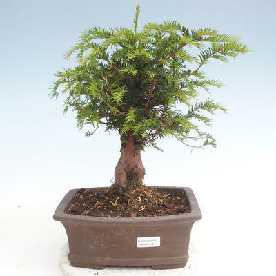 Outdoor bonsai - Taxus bacata - Cis czerwony - 1