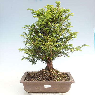 Outdoor bonsai - Taxus bacata - Cis czerwony - 1