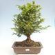 Outdoor bonsai - Taxus bacata - Cis czerwony - 1/3