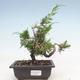 Outdoor bonsai - Juniperus chinensis Itoigawa-chiński jałowiec - 1/3
