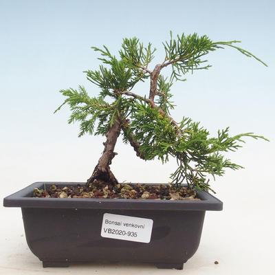 Outdoor bonsai - Juniperus chinensis Itoigawa-chiński jałowiec - 1