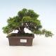 Outdoor bonsai - Juniperus chinensis Itoigawa-chiński jałowiec - 1/6
