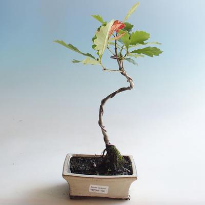 Outdoor bonsai-Quercus robur-Dąb letni - 1