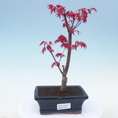 Outdoor bonsai - Maple palmatum DESHOJO - Klon palmowy - 1