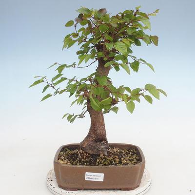 Outdoor bonsai -Carpinus CARPINOIDES - Koreański Grab - 1