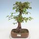 Outdoor bonsai -Carpinus CARPINOIDES - Koreański Grab - 1/5