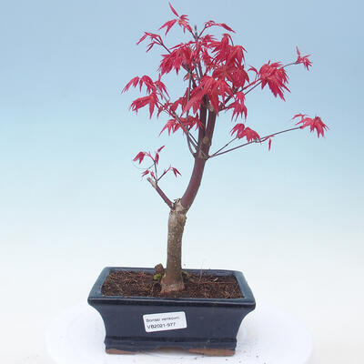 Outdoor bonsai - Maple palmatum DESHOJO - Klon palmowy - 1