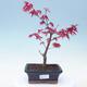 Outdoor bonsai - Maple palmatum DESHOJO - Klon palmowy - 1/4