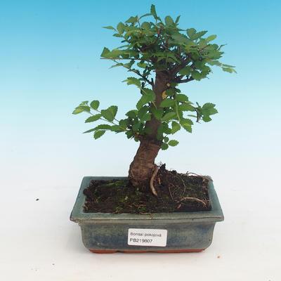 Room bonsai-Ulmus Parvifolia-Malolist wiąz
