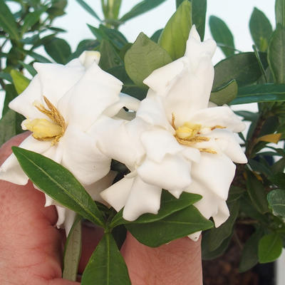 Pokój bonsai - Gardenia jasminoides-Gardenie - 1