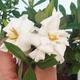 Pokój bonsai - Gardenia jasminoides-Gardenie - 1/2