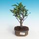 Pokój bonsai - Ficus retusa - mały ficus - 1/2