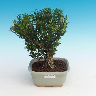 bonsai Room - Buxus harlandii - 1