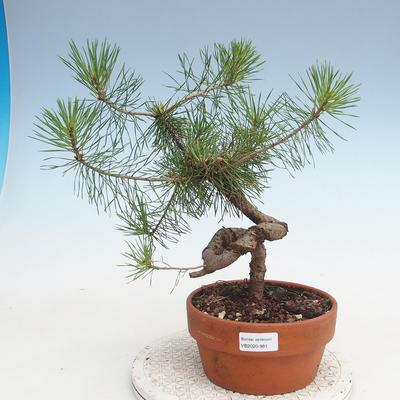 Outdoor bonsai - Pinus Sylvestris - sosna zwyczajna - 1