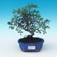 Pokojowe pistacje bonsai - 1/2