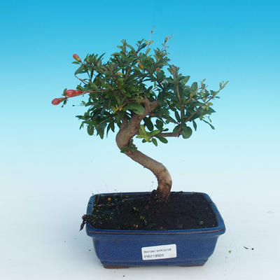 Pokój bonsai-PUNICA granatum nana-granat - 1