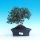 Kryte bonsai - Olea europaea sylvestris -Oliva european tiny - 1/5