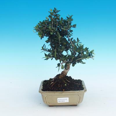 Kryte bonsai - Olea europaea sylvestris -Oliva european tiny - 1