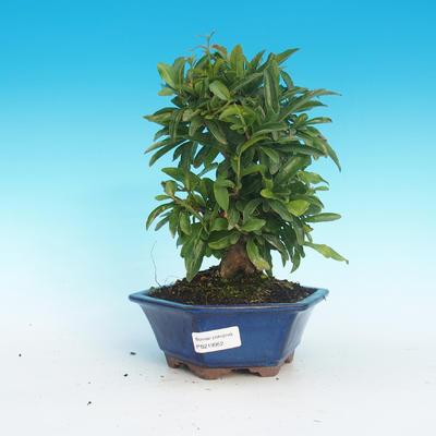 Pokój bonsai-granat PUNICA-granat - 1