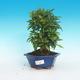 Pokój bonsai-granat PUNICA-granat - 1/5