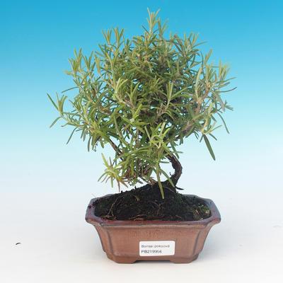 Room bonsai - Rosemary-Rosmarinus officinalis - 1