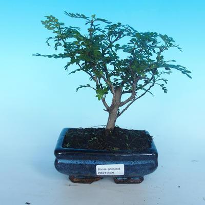 Room bonsai - Zantoxylum piperitum - pieprz - 1