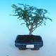 Room bonsai - Zantoxylum piperitum - pieprz - 1/4
