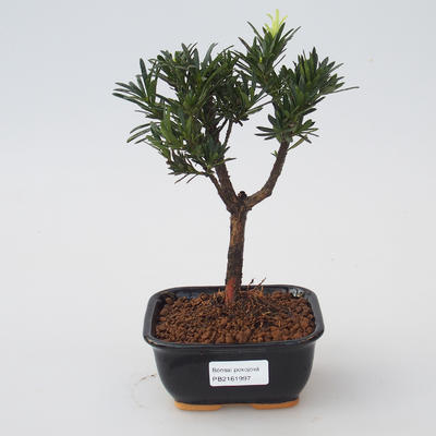Pokój Bonsai - Podocarpus - Stone Thousand