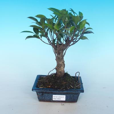 Pokój bonsai - Ficus retusa - ficus malolistý - 1