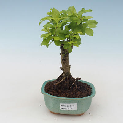 Kryty bonsai -Ligustrum variegata - Privet - 1