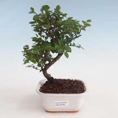 Kryty bonsai - Sagerécie thea - Sagerécie thea 412-PB2191298 - 1