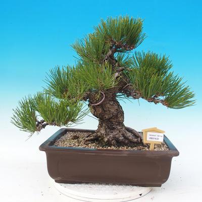 Outdoor bonsai - Pinus thunbergii - Sosna Thunbergova - 1