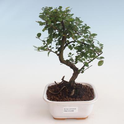Kryty bonsai - Sagerécie thea - Sagerécie thea 412-PB2191299 - 1