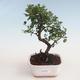 Kryty bonsai - Sagerécie thea - Sagerécie thea 412-PB2191299 - 1/4