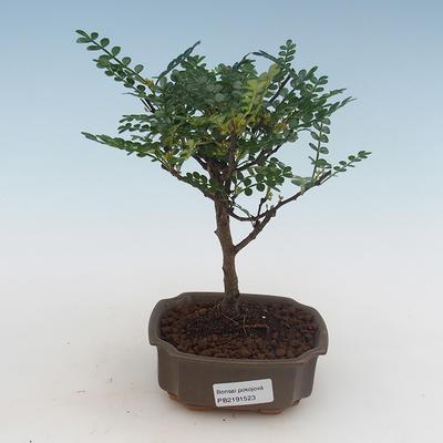 Kryty bonsai - kimono Ficus - ficus mały liść PB2191316