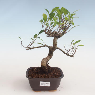 Kryty bonsai - kimono Ficus - figowiec mały liść PB2191317