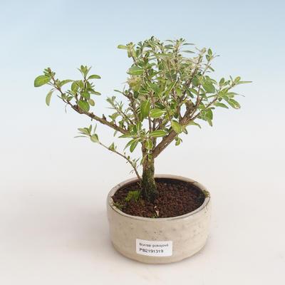 Kryty bonsai - Serissa foetida Variegata - Drzewo Tysiąca Gwiazd PB2191319 - 1