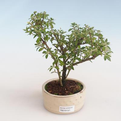 Kryty bonsai - Serissa foetida Variegata - Drzewo Tysiąca Gwiazd PB2191321 - 1