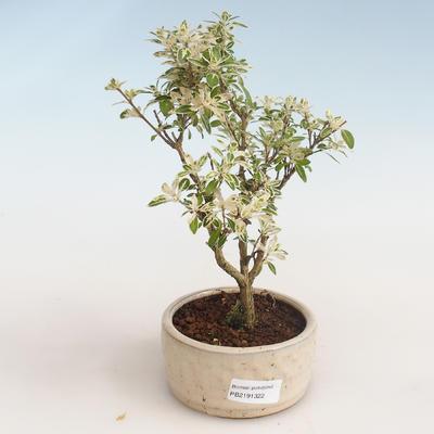 Kryty bonsai - Serissa foetida Variegata - Drzewo Tysiąca Gwiazd PB2191322 - 1