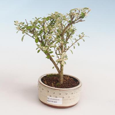 Kryty bonsai - Serissa foetida Variegata - Drzewo Tysiąca Gwiazd PB2191323 - 1