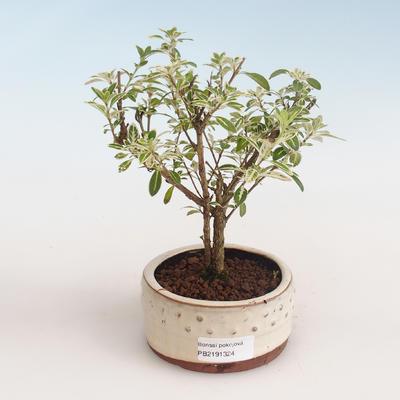 Kryty bonsai - Serissa foetida Variegata - Drzewo Tysiąca Gwiazd PB2191324 - 1