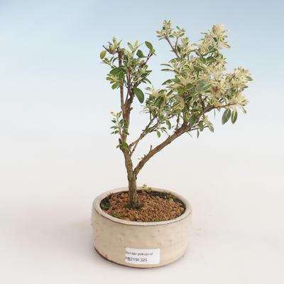 Kryty bonsai - Serissa foetida Variegata - Drzewo Tysiąca Gwiazd PB2191325 - 1