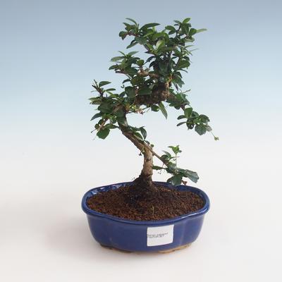 Kryty bonsai - Carmona macrophylla - Tea fuki PB2191327 - 1